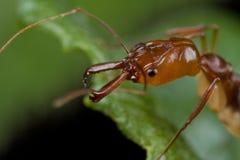 Hormiga roja de la atrapar-quijada Fotografía de archivo libre de regalías