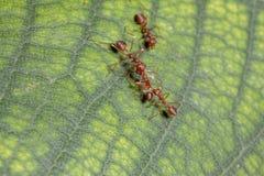 Hormiga roja del ataque rojo de la hormiga dos para la comida fotos de archivo libres de regalías