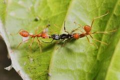 hormiga roja del negro de la caza de la hormiga del trabajo en equipo Foto de archivo libre de regalías