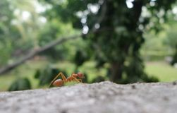 Hormiga roja en árbol que cae en el jardín Fotografía de archivo libre de regalías