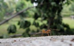 Hormiga roja en árbol que cae en el jardín Foto de archivo
