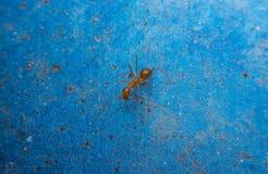 Hormiga roja en fondo azul Imagenes de archivo