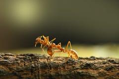 Hormiga roja en fondo de la naturaleza Foto de archivo libre de regalías