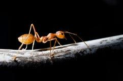 Hormiga roja en fondo negro Fotografía de archivo