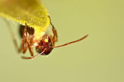 Hormiga roja en hierba verde Foto de archivo libre de regalías