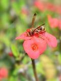 Hormiga roja en la flor Imagen de archivo