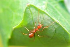 Hormiga roja en la naturaleza Fotografía de archivo libre de regalías