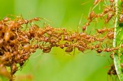 Hormiga roja en naturaleza verde Fotografía de archivo