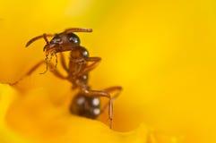 Hormiga roja en una flor amarilla Fotos de archivo