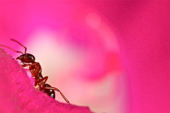 Hormiga roja en una flor rosada Fotos de archivo libres de regalías