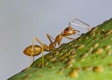 Hormiga roja gigante en un árbol, Senegal, África imagenes de archivo