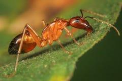 Hormiga roja grande fotografía de archivo