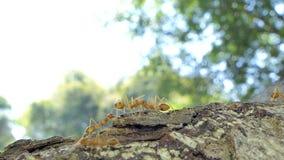 Hormiga roja que camina en árbol almacen de metraje de vídeo