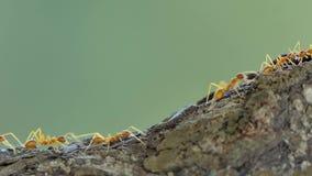 Hormiga roja que camina en árbol almacen de video