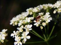 Hormiga roja que se sienta en una flor Imagenes de archivo