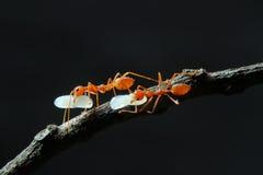 Hormiga roja y el huevo en Tailandia Fotos de archivo