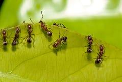 Hormiga roja y hoja verde Fotografía de archivo