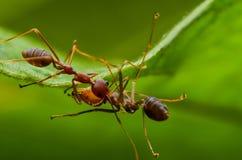 Hormiga roja y negra hermosa en Malasia Foto de archivo