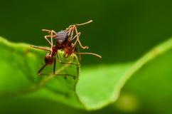 Hormiga roja y negra hermosa en Malasia Imagen de archivo