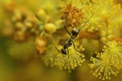 Hormiga roja y negra hermosa en Malasia Fotos de archivo libres de regalías