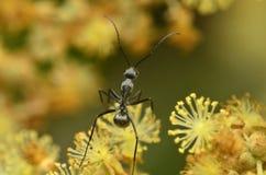 Hormiga roja y negra hermosa en Malasia Imagen de archivo libre de regalías