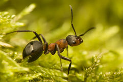 Hormiga - rufa del Formica Foto de archivo libre de regalías