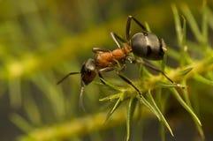 Hormiga - rufa del Formica Fotografía de archivo