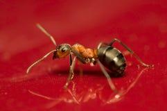 Hormiga - rufa del Formica Imagen de archivo libre de regalías