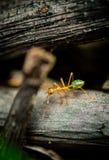 Hormiga verde del árbol Foto de archivo libre de regalías