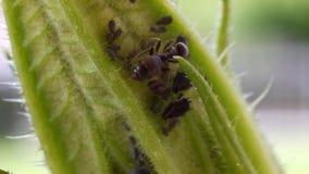 Hormiga y áfido metrajes