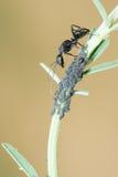 Hormiga y áfido Fotografía de archivo