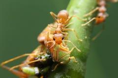 Hormiga y áfido macros Imagenes de archivo