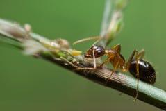 Hormiga y áfidos Foto de archivo