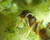 Hormiga y áfidos Imagen de archivo