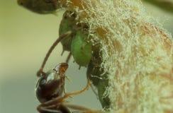 Hormiga y áfidos Foto de archivo libre de regalías