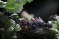 Hormiga y áfidos Imágenes de archivo libres de regalías