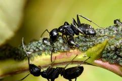 hormiga y áfidos negros fotografía de archivo libre de regalías