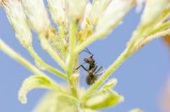 Hormiga y áfidos negros en naturaleza verde Imágenes de archivo libres de regalías