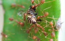 Hormiga y abeja de ejército Fotos de archivo libres de regalías