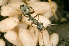 Hormiga y chrysalises Imágenes de archivo libres de regalías