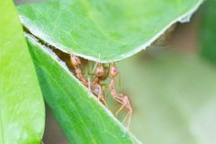 Hormiga y hojas Trabajo del equipo del concepto junto fotografía de archivo