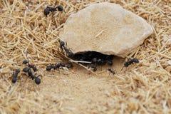 Hormigas Fotografía de archivo