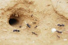 Hormigas Imágenes de archivo libres de regalías