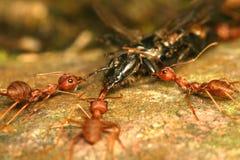 Hormigas Imagenes de archivo