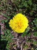 Hormigas amarillas Imagen de archivo libre de regalías