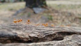 Hormigas anaranjadas que marchan Fotos de archivo