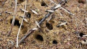 Hormigas coas alas que salen de su hormiguero para crear a una nueva colonia almacen de video