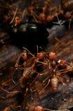 Hormigas con el alimento 02 Fotografía de archivo