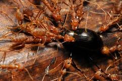 Hormigas con el alimento   Fotos de archivo
