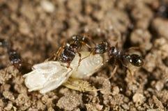 Hormigas con una larva de la avispa Fotografía de archivo libre de regalías